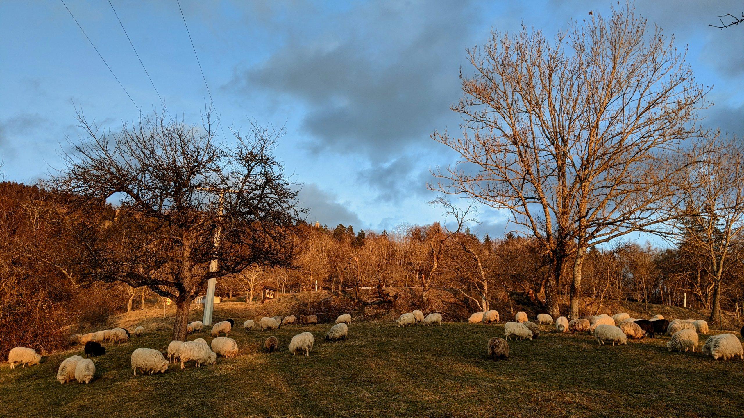 Abendstimmung mit Schafen